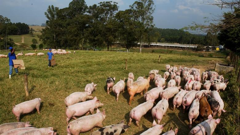 suinos-porcos-suinocultura (Foto: Rogério Albuquerque/Ed. Globo)