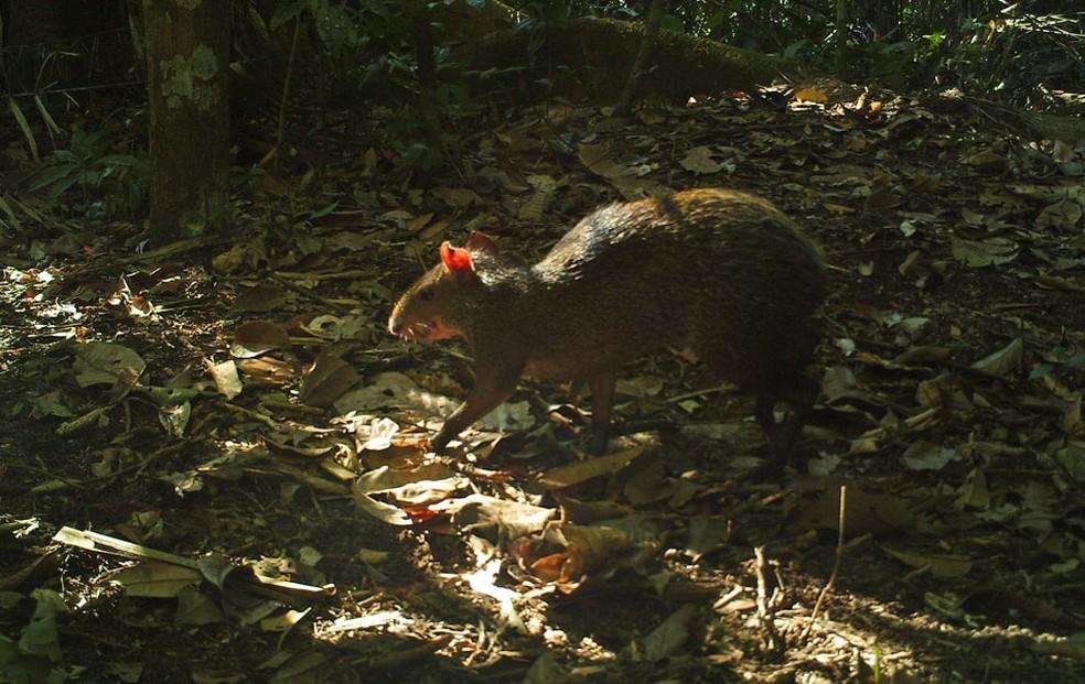 Espécime de cutia ('Dasyprocta-sp') que vive na floresta amazônica.  — Foto: Divulgação/André Botelho