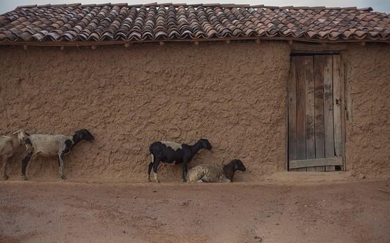 Numa cena típica do sertão da Bahia, as criações de cabras e ovelhas vivem junto a casa e são fonte de subsistência (Foto: DANIEL MARENCO/AGÊNCIA O GLOBO)