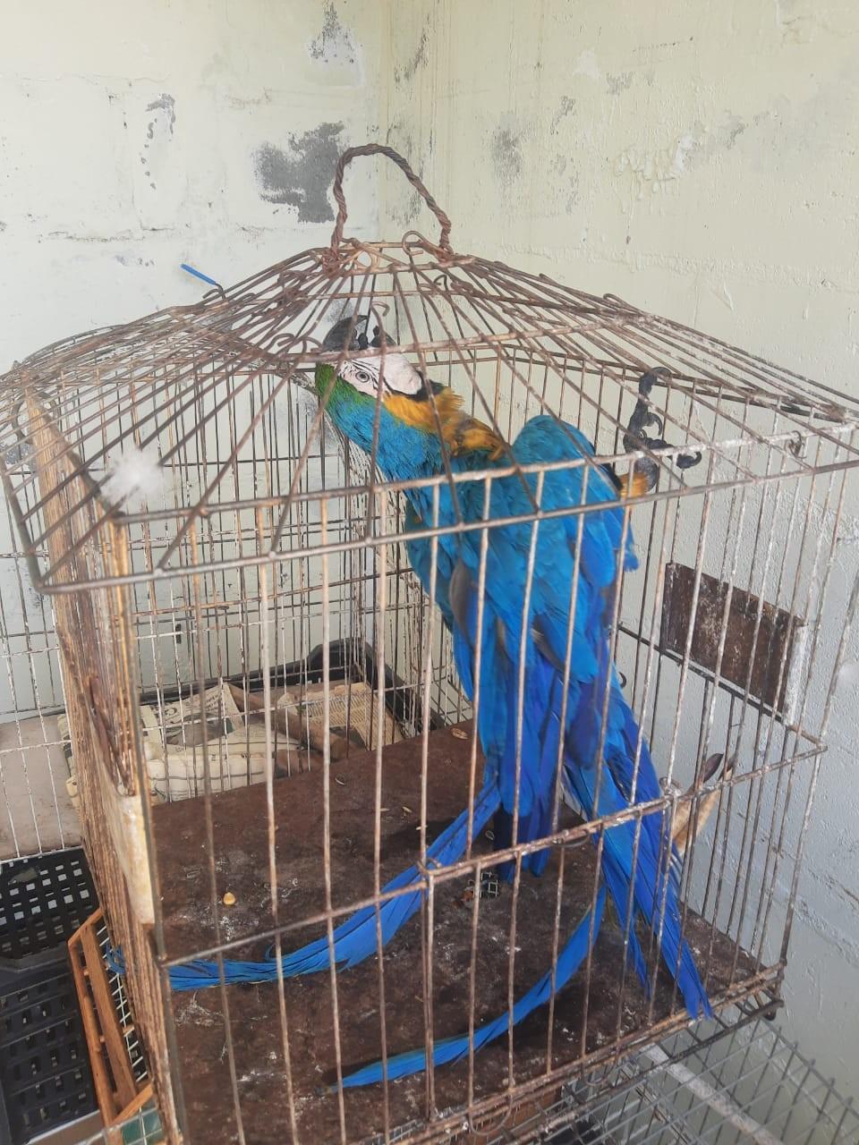 Polícia Ambiental resgata arara-canindé em ferro-velho de Campinas
