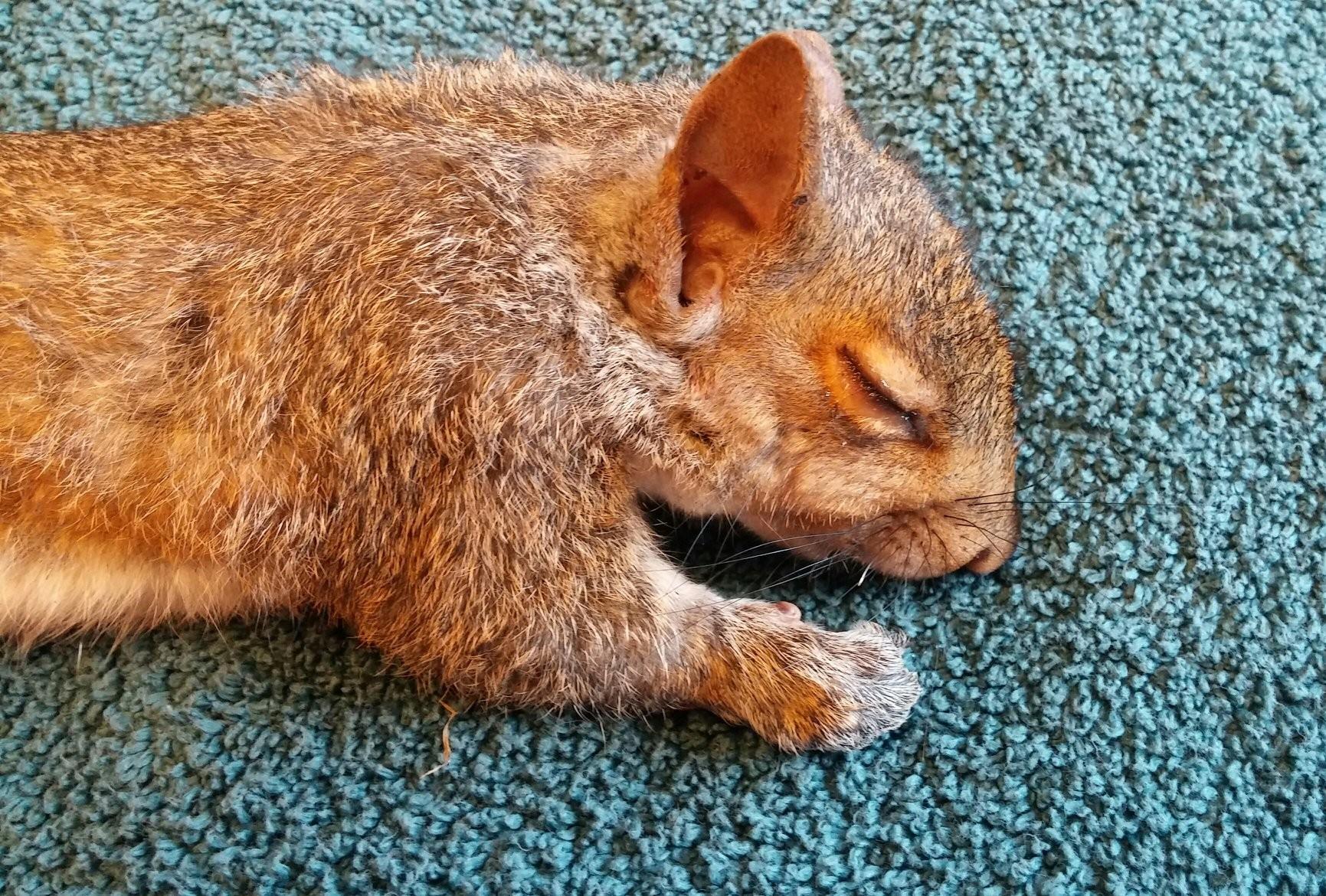Esquilo descansa depois de se ver livre dos irmãos.  (Foto: Reprodução / Facebook)