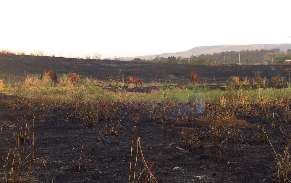 Queimadas reduzem área de pasto de animais no interior do Ceará — Foto: Antonio Rodrigues/SVM