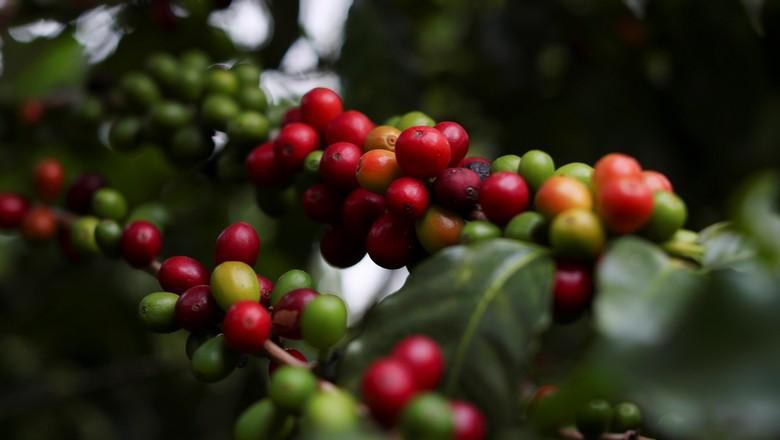 Plantação de café (Foto: REUTERS/Amanda Perobelli)