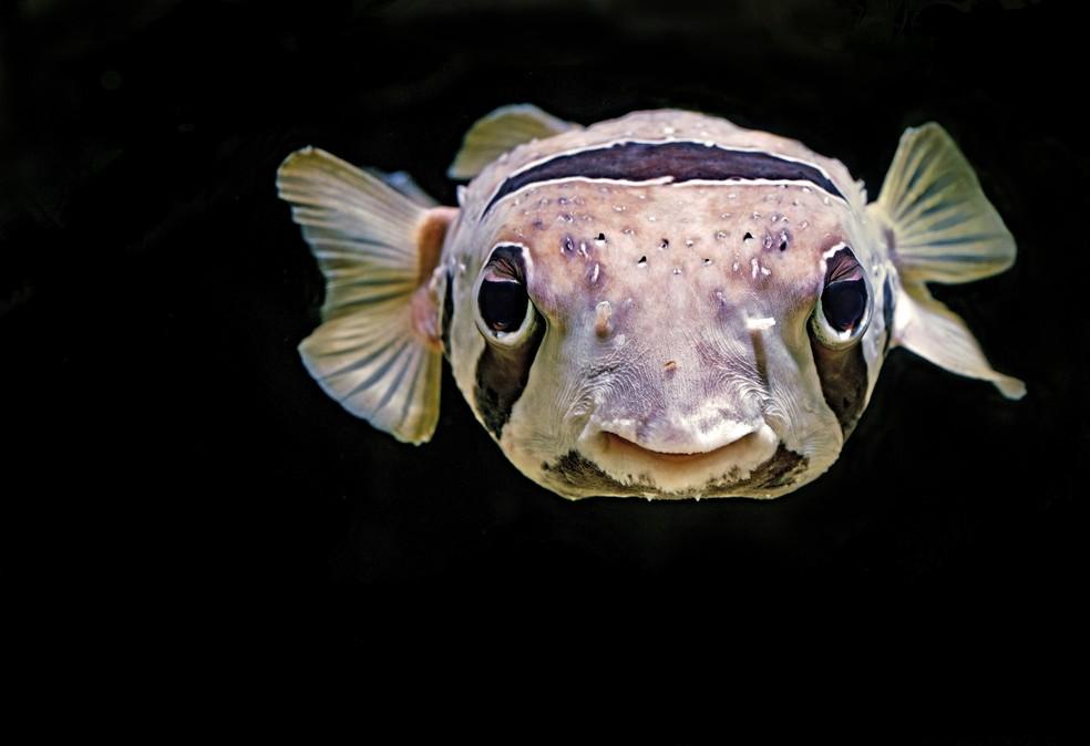 Baiacu é o nome popular dado a cerca de 150 espécies de peixes capazes de inflar o corpo quando se sentem ameaçados por um predador. Na imagem, um 'Pufferfish' no Aquário Cairns, na Austrália.  — Foto: David Clode/Unsplash