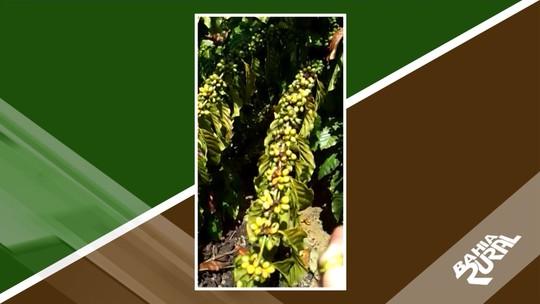 Previsão do tempo: altas temperaturas afetam a produção café do tipo conilon em Itabela