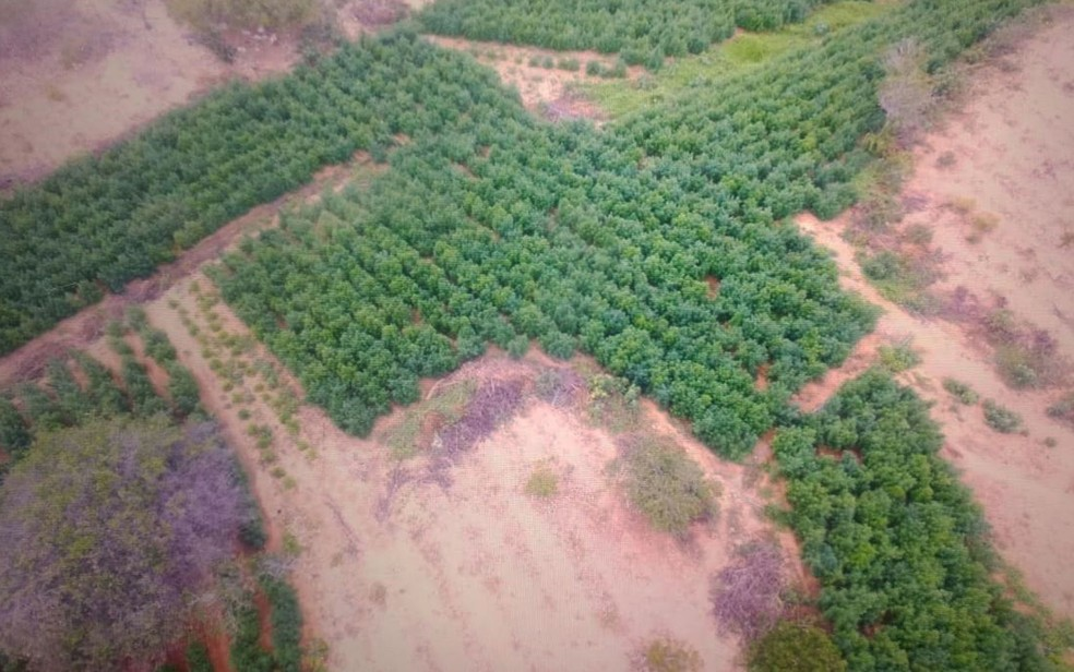 Polícia encontrou 115 mil pés de maconha na cidade de Macururé, no norte da Bahia — Foto: Divulgação/SSP-BA