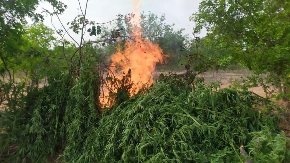 Plantação com mil pés de maconhafoi achada e erradicada pela polícia em Abaré — Foto: Divulgação/SSP-BA