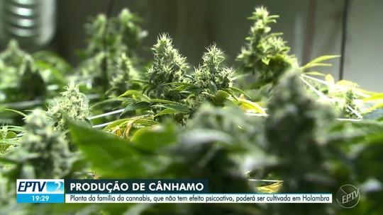 Com aval para cultivar cannabis, empresa de SP planeja iniciar produção em dois meses e vender para indústrias têxtil e alimentícia