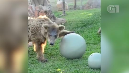 VÍDEO: Após chegar do Piauí, ursa brinca em santuário em São Paulo