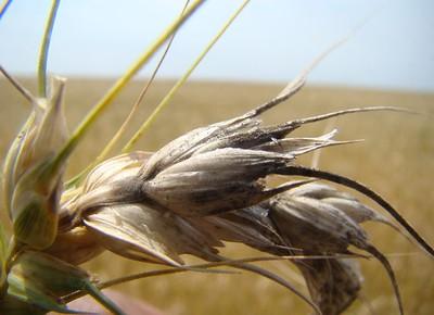agricultura-trigo-brusone (Foto: Embrapa)