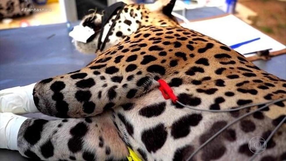Pantanal em chamas: tratamento pioneiro regenera tecidos de animais queimados  — Foto: Fantástico