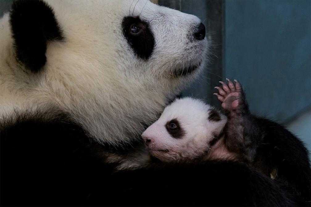 No colo da mãe, a panda Meng Meng, um filhote de panda ergue uma das patas no Zoológico de Berlim, na Alemanha — Foto: Zoológico de Berlim via Reuters