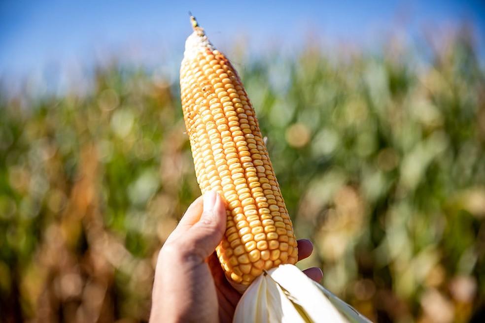 Milho é a base da ração dos porcos e frangos. — Foto: Governo do estado de Mato Grosso