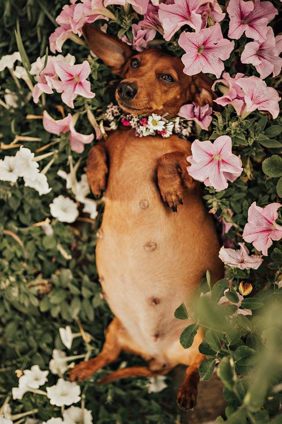 Cachorrinha grávida ganha ensaio fotográfico na Austrália (Foto: Vicki Miller Photography/Facebook)
