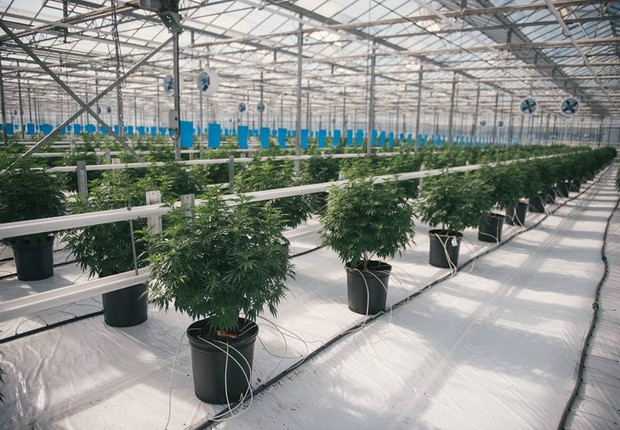 Canopy Growth Corporation - maconha - cannabis (Foto: Canopy Growth Corporation/Reprodução Facebook)