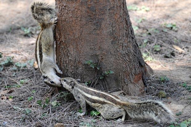Esquilos 'beijam-se' em árvore no parque Lodi, na cidade de Délhi, nesta sexta-feira (11) (Foto: Gabriel Bouys/AFP)
