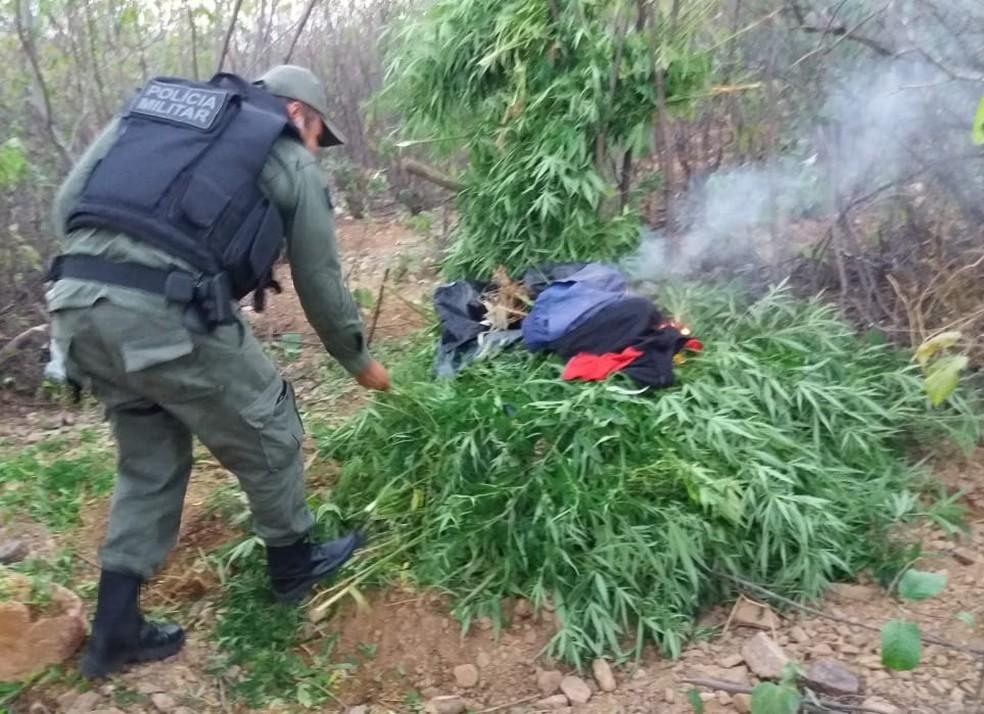 O plantio foi encontrado na Zona Rural de Dormentes, após denúncia. — Foto: Polícia Militar