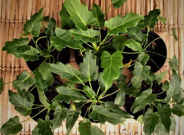 Imbé ou filodendro (Foto: Reprodução/Mercado Verde)
