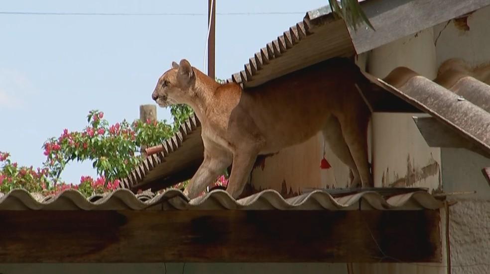 Onça em telhado com dardo tranquilizante preso ao corpo em Jales — Foto: Reprodução/TV TEM