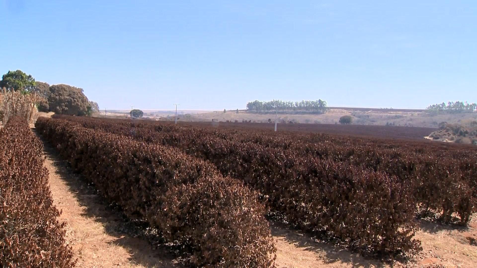 Produtores rurais de Frutal e Patrocínio contabilizam prejuízos causados pelo frio