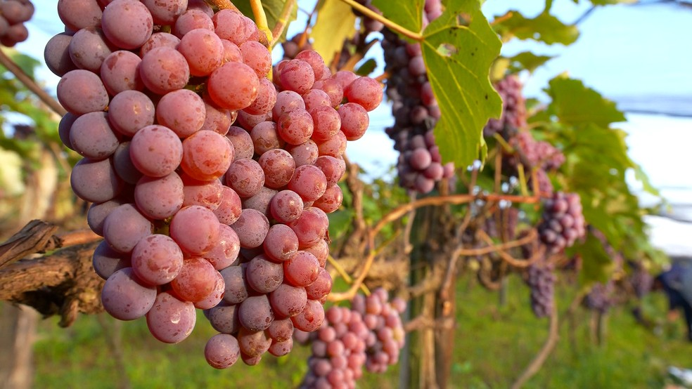 Colheitas de uvas aumentam no outono em Porto Feliz  — Foto: Reprodução/TV TEM
