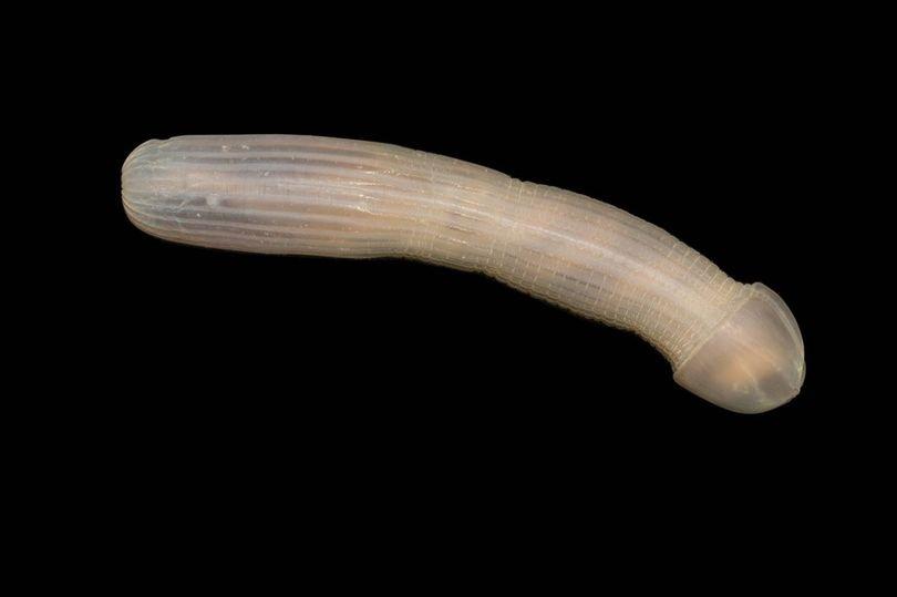Verme marinho com forma de pênis