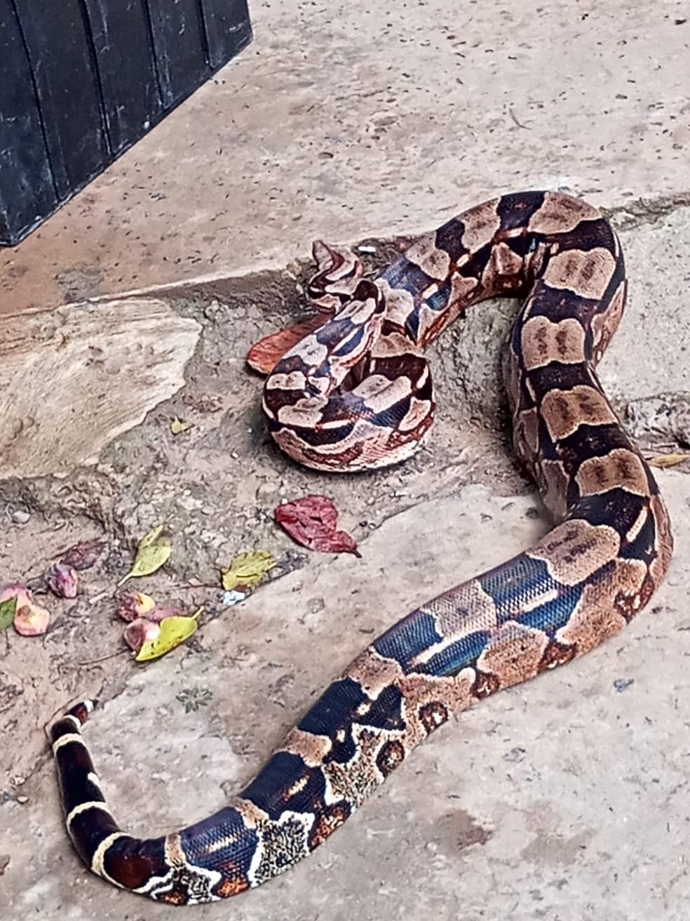 Três serpentes entre 1,5 e 2,5 metros são resgatadas em bairros de Salvador em menos de 24 horas — Foto: Divulgação / Guarda Municipal de Salvador