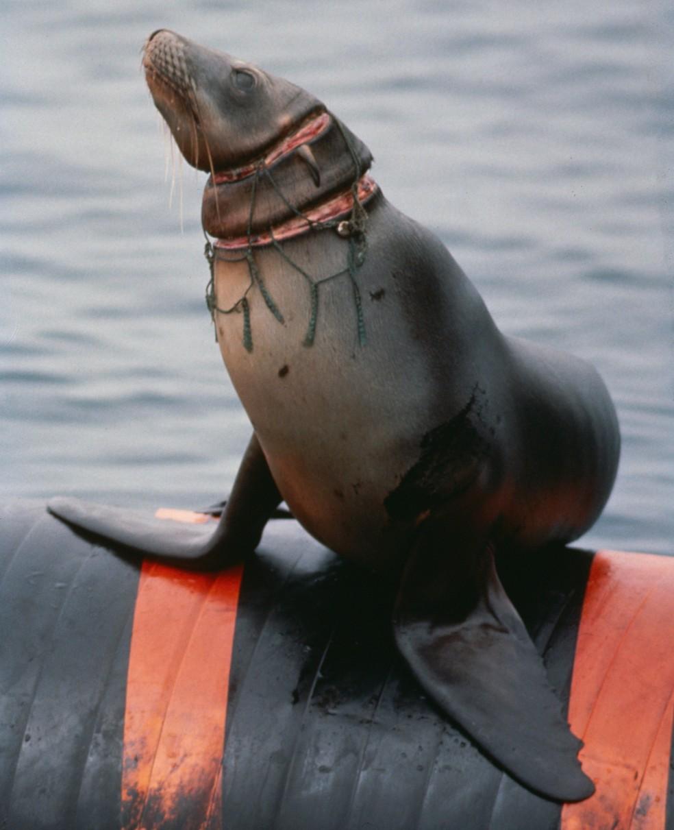 Leão-marinho fica machucado após se emaranhar em rede de pesca (Foto: Tom Campbell/World Animal Protection)