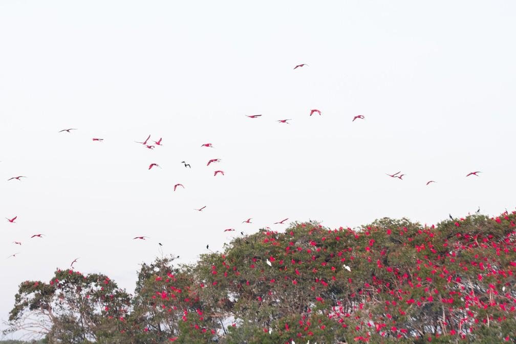 Turismo de contemplação na revoada dos guarás – os pássaros vermelhos — Foto: Celso Tavares/G1