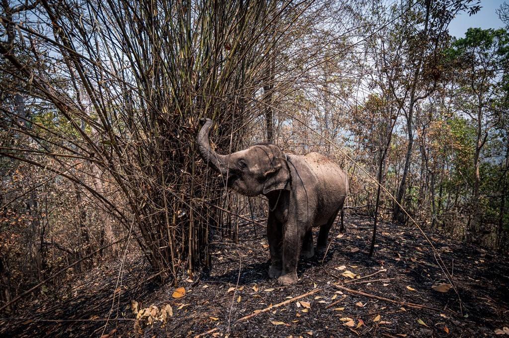 Elefantes passam fome na Tailândia durante a pandemia do novo coronavírus