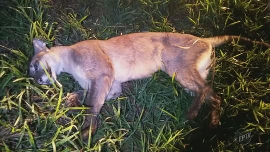 Onça suçuarana morre atropelada entre Fernando Prestes e o distrito de Agulhas