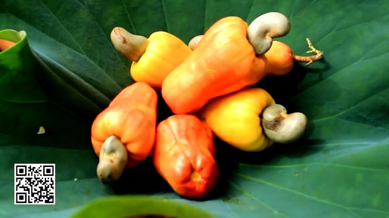 Caju é fonte de renda para mais de 190 mil produtores