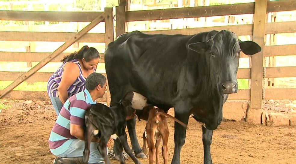 Carla e Milton ajudam o casal de bezerros gêmeos a mamarem na mãe Negrinha, em Pedregulho (SP). — Foto: Valdinei Malaguti/EPTV