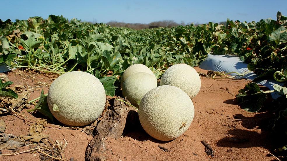 Europa é principal destino do melão potiguar (Foto: Anderson Barbosa/G1)