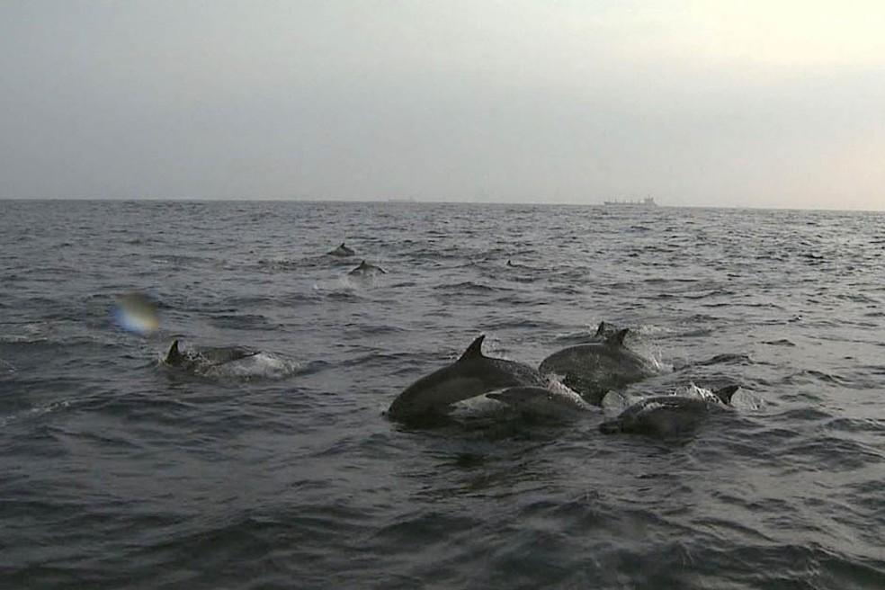 Golfinhos-comuns são nadadores exímios, às vezes saltando até cinco metros acima da água — Foto: Arquivo TG