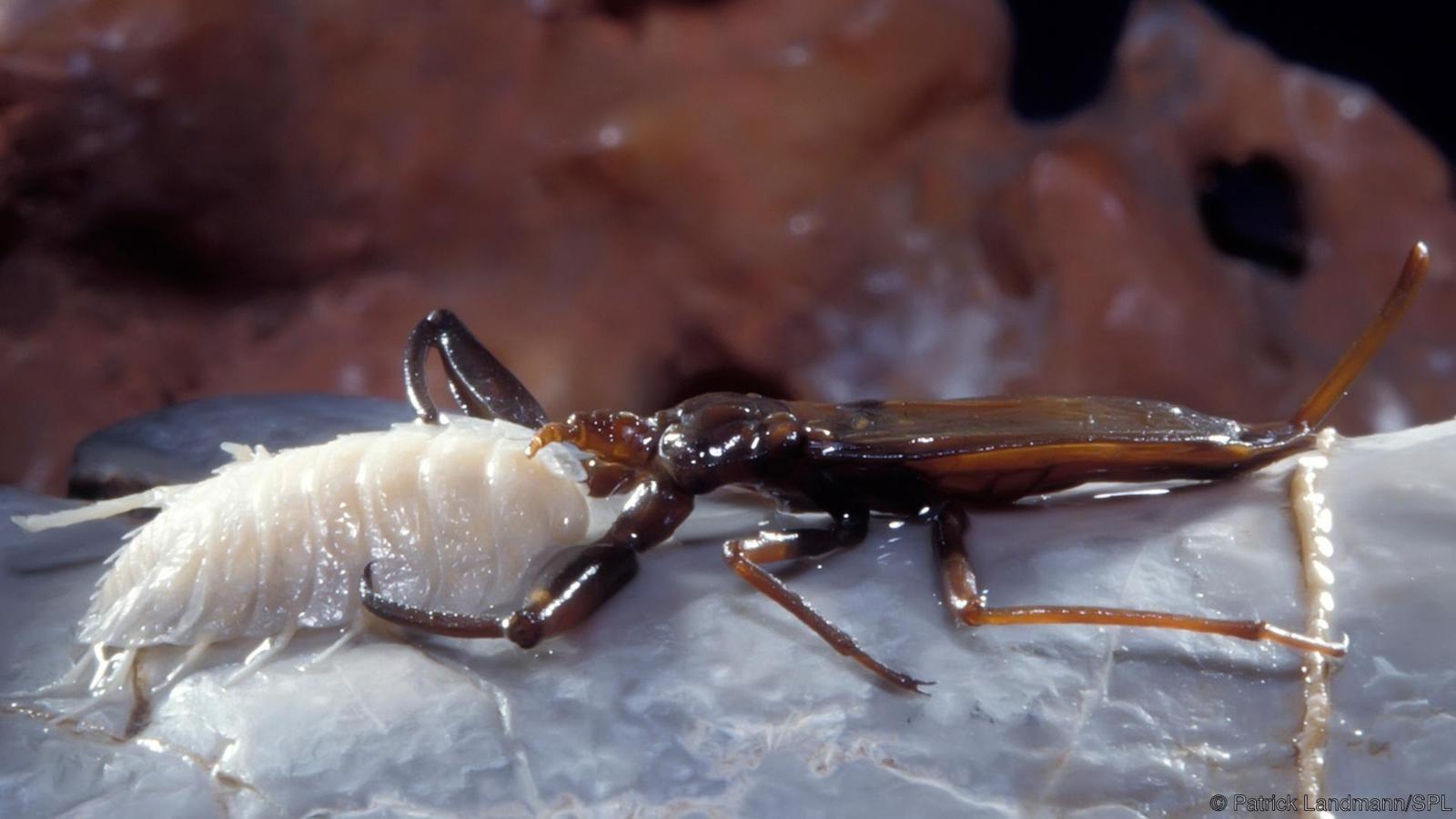 Escorpião marinho atacando centípede (Foto: Divulgação)