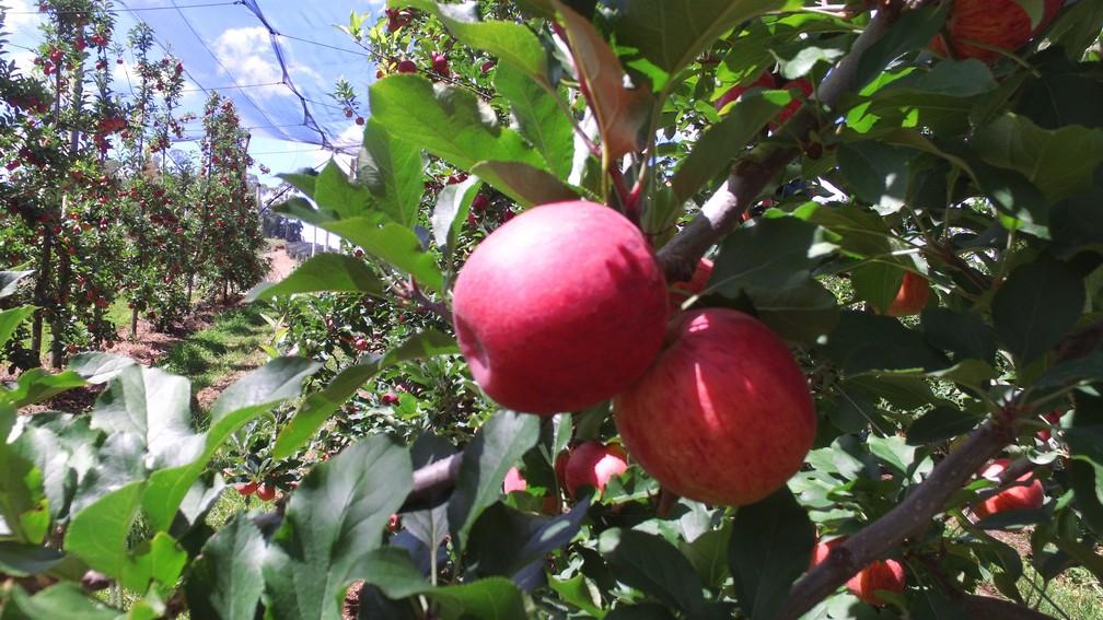 maçã — Foto: ABPM/Divulgação