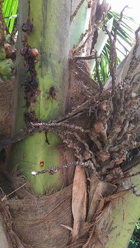 gr-responde-coqueiro-coco-seca (Foto: Michel Campos/Arquivo Pessoal)