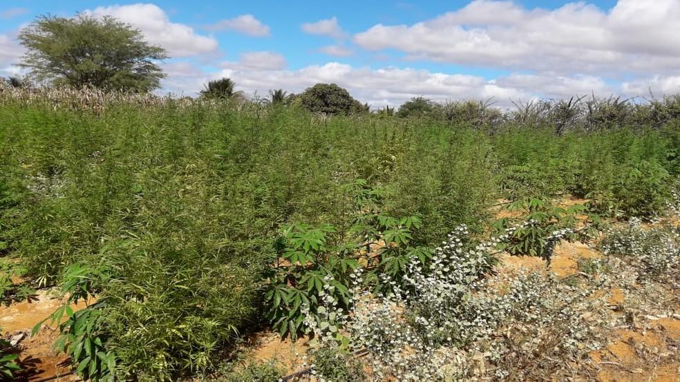 Região onde a plantação foi encontrada é muito utilizada para o cultivo de maconha, por conta do clima e da terra. (Foto: Divulgação)