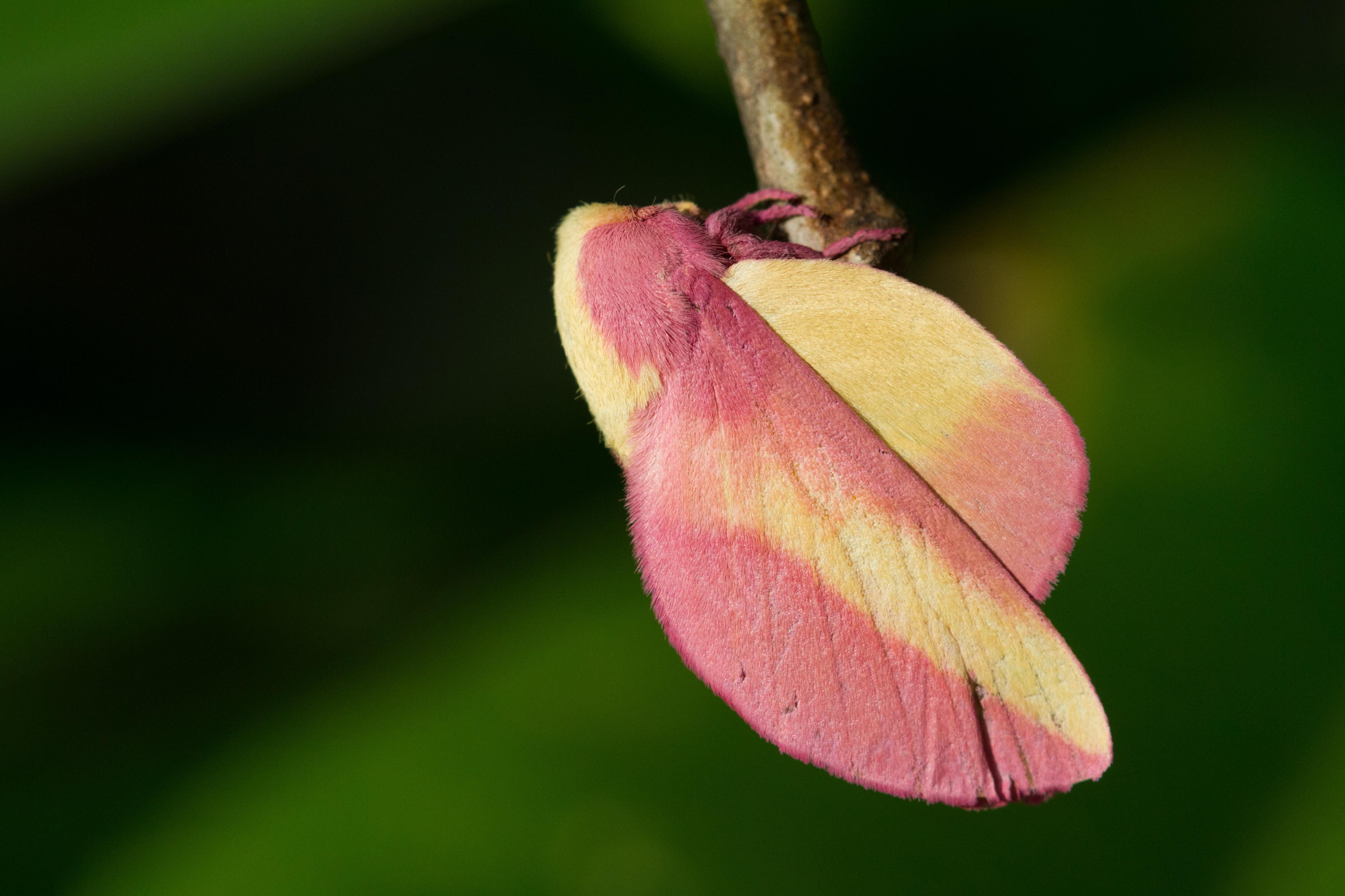 Mariposa chama atenção pela textura aveludada em tons de rosa