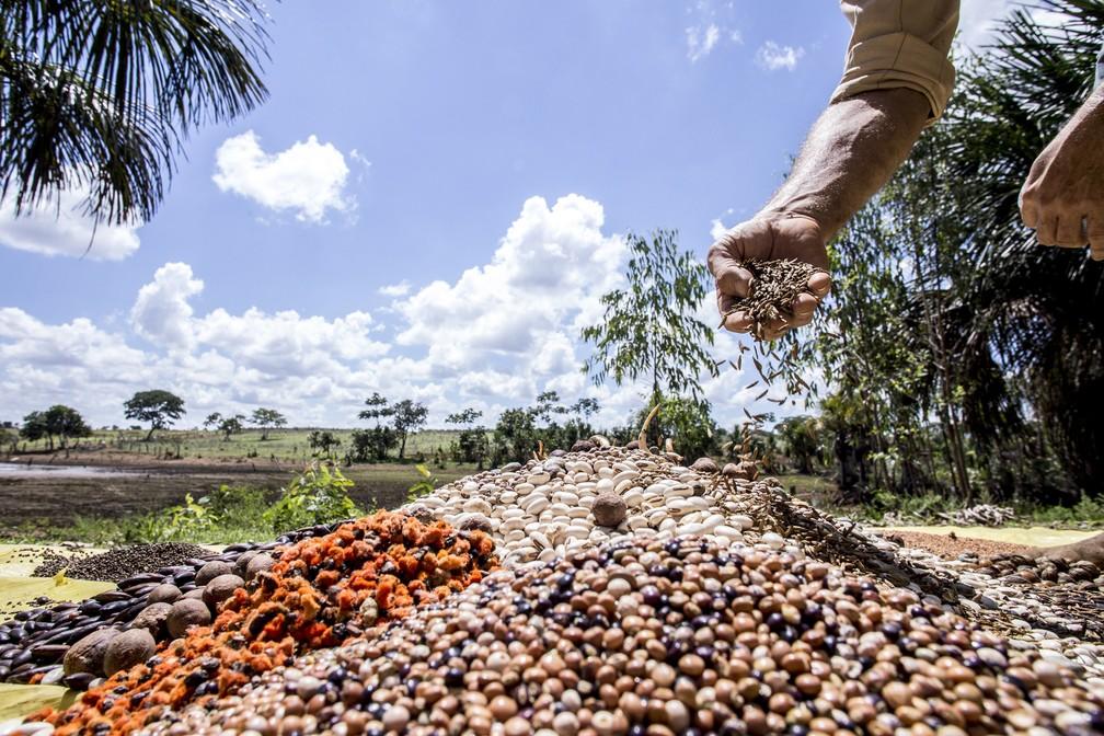 Preparo de uma muvuca de sementes.  — Foto: Tui Anandi/Instituto Socioambiental (ISA)