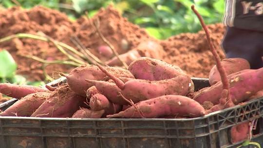 Produção de batata-doce dobra em três anos na região de Araçatuba