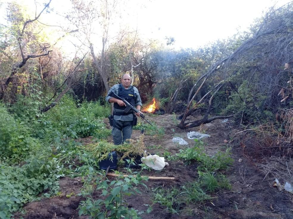 Erradicação de 30 mil pés de maconha no N-4 do perímetro irrigado Nilo Coelho em Petrolina — Foto: Divulgação/ 5º BPM