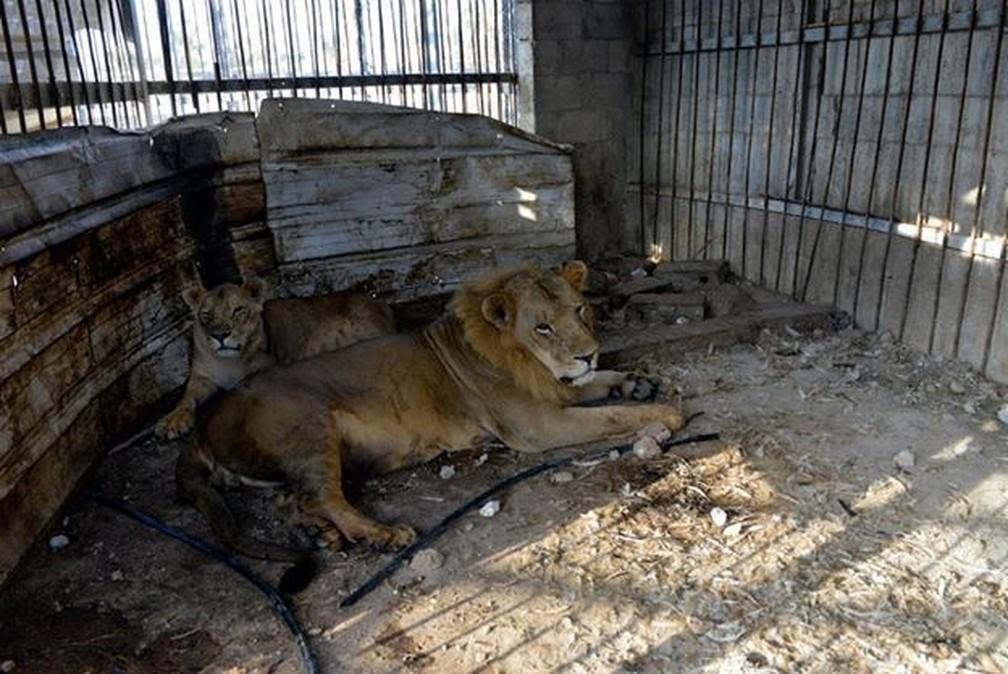 sultan e sabreen antes do resgate - Animais traumatizados por guerras encontram a paz em reserva na Jordânia