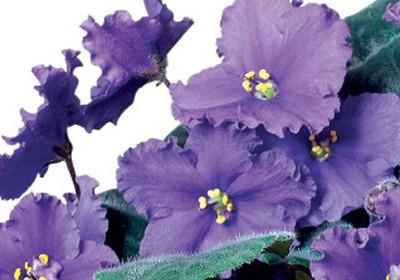 como_plantar_violeta (Foto:  )