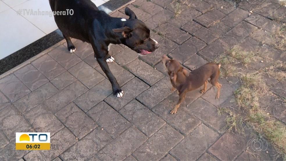 Pinscher é suspeito de engravidar cadela pitbull  — Foto: Reprodução/ TV Anhanguera
