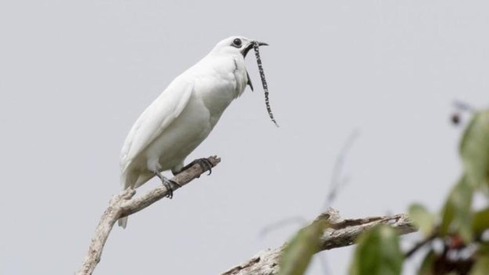 A araponga-da-amazônia (Procnias albus) é comum em Roraima e no Pará — Foto: Divulgação/Anselmo D'Afonseca/BBC