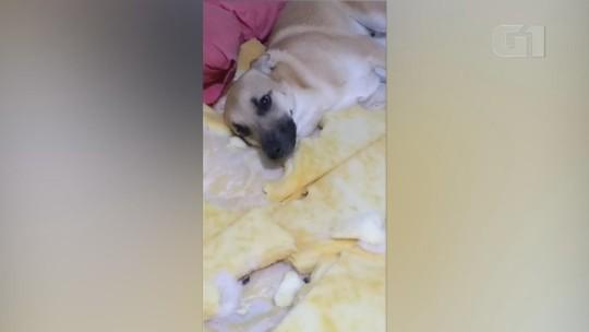 VÍDEO: cão famoso por destruir quarto da dona faz estragos desde filhote