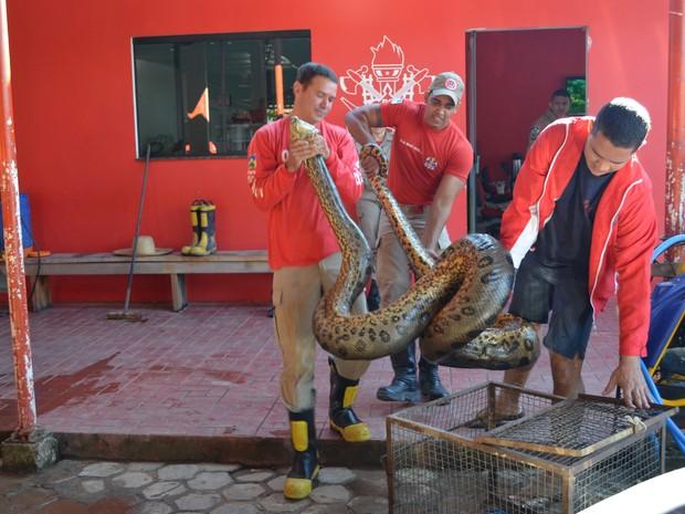 Cobra pesava cerca de 50 kg, segundos os bombeiros (Foto: Roger Henrique/G1)