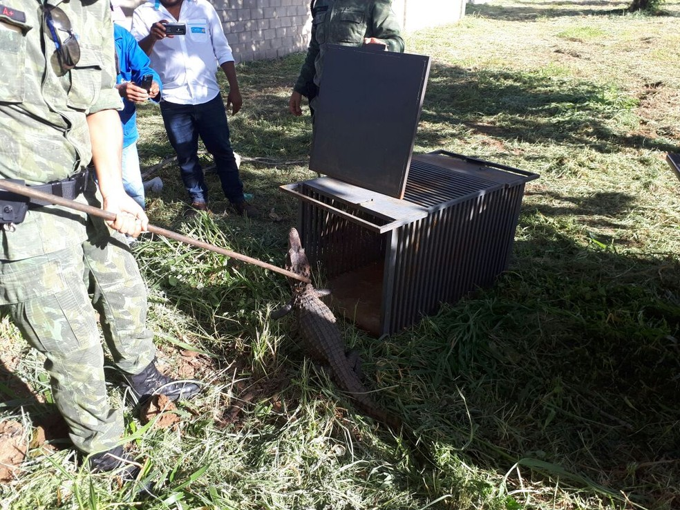Filhote de jacaré-tinga é resgatado após passear em condomínio de Palmas